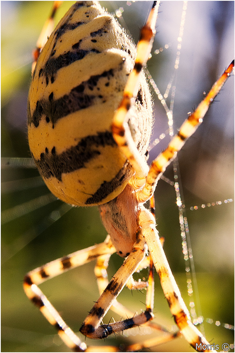 Photograph Orb Spider by Dave Morris on 500px