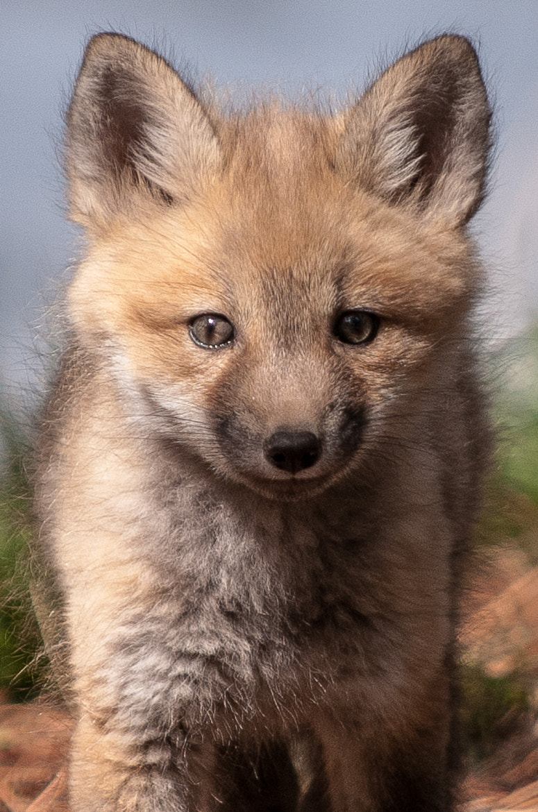 Photograph Kit Fox by Russ Colletta on 500px