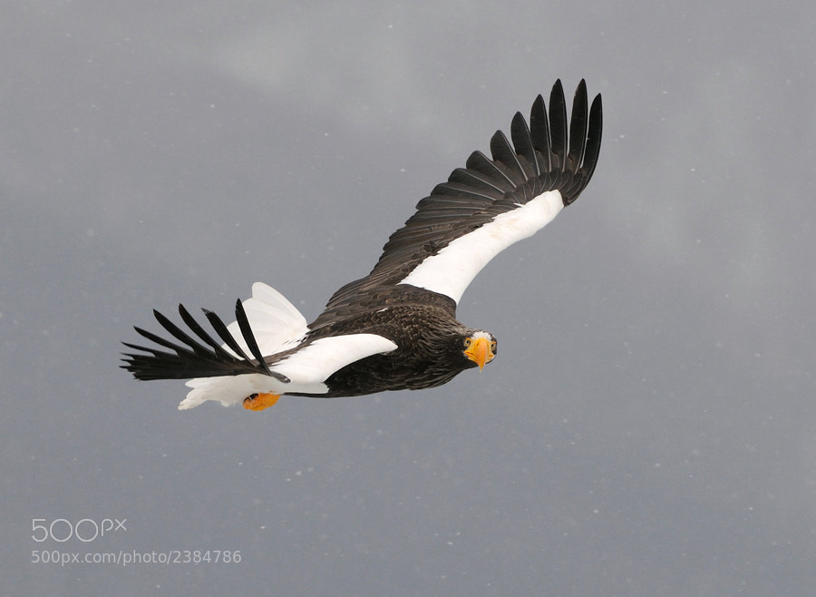 Stellers Sea Eagle, in snowy conditions, above the Sea of Okhotsk North-Easterly of Rausu, Hokkaido,Japan.