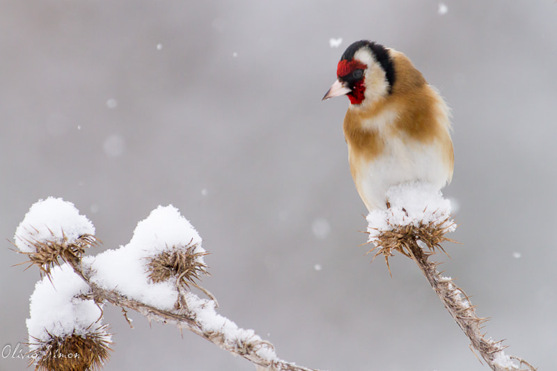 Photograph European Goldfinch under the snow by Olivier SIMON on 500px
