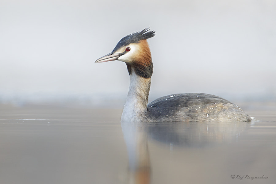 Photograph Great Crested Grebe by Raf Raeymaekers on 500px