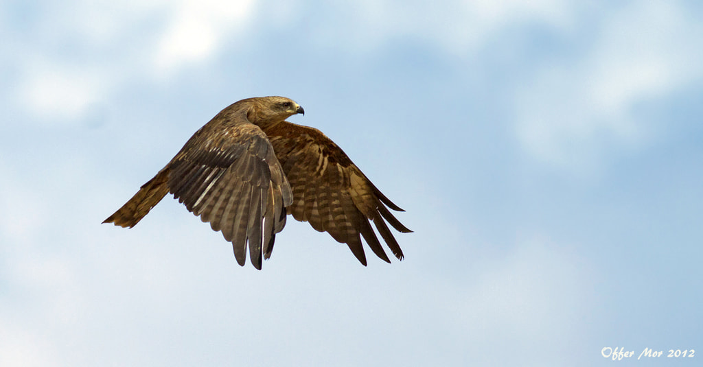Photograph Black Kite by Offer Mor on 500px