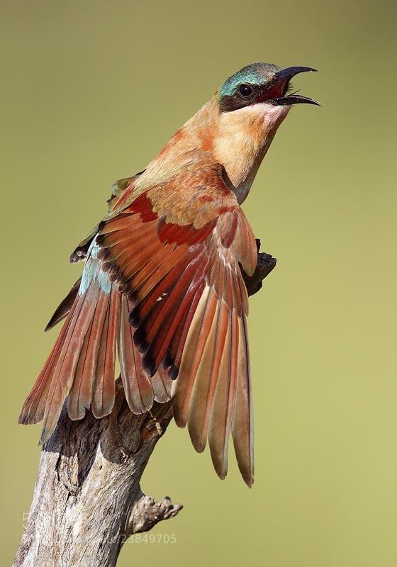 Photograph Carmine Bee-eater by Mirek Zítek on 500px