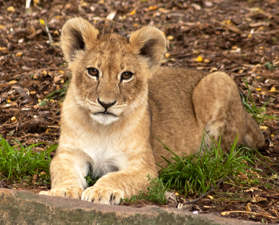Photograph Little lion king II by Christina Skov on 500px
