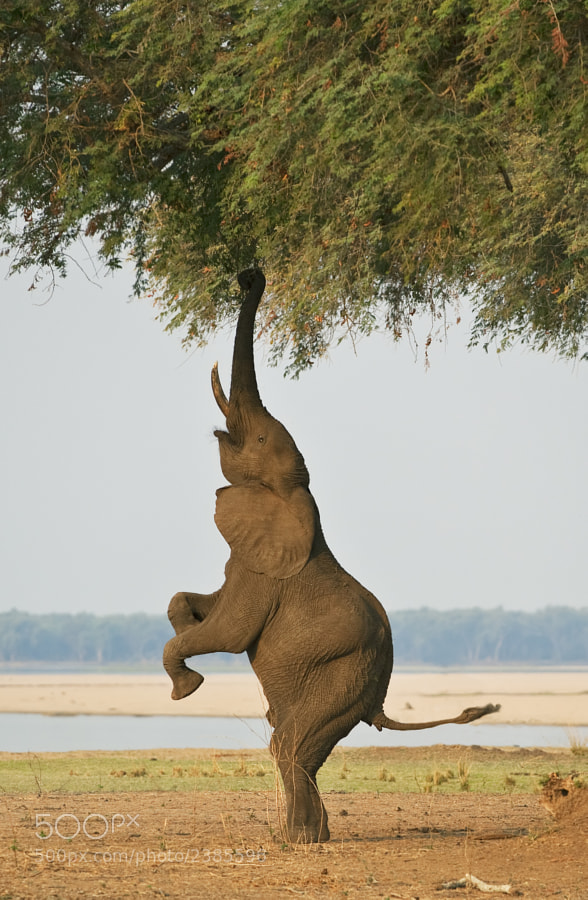 Another balancing act from Ghikwenya concession, Zimbabwe, 14th September 2011