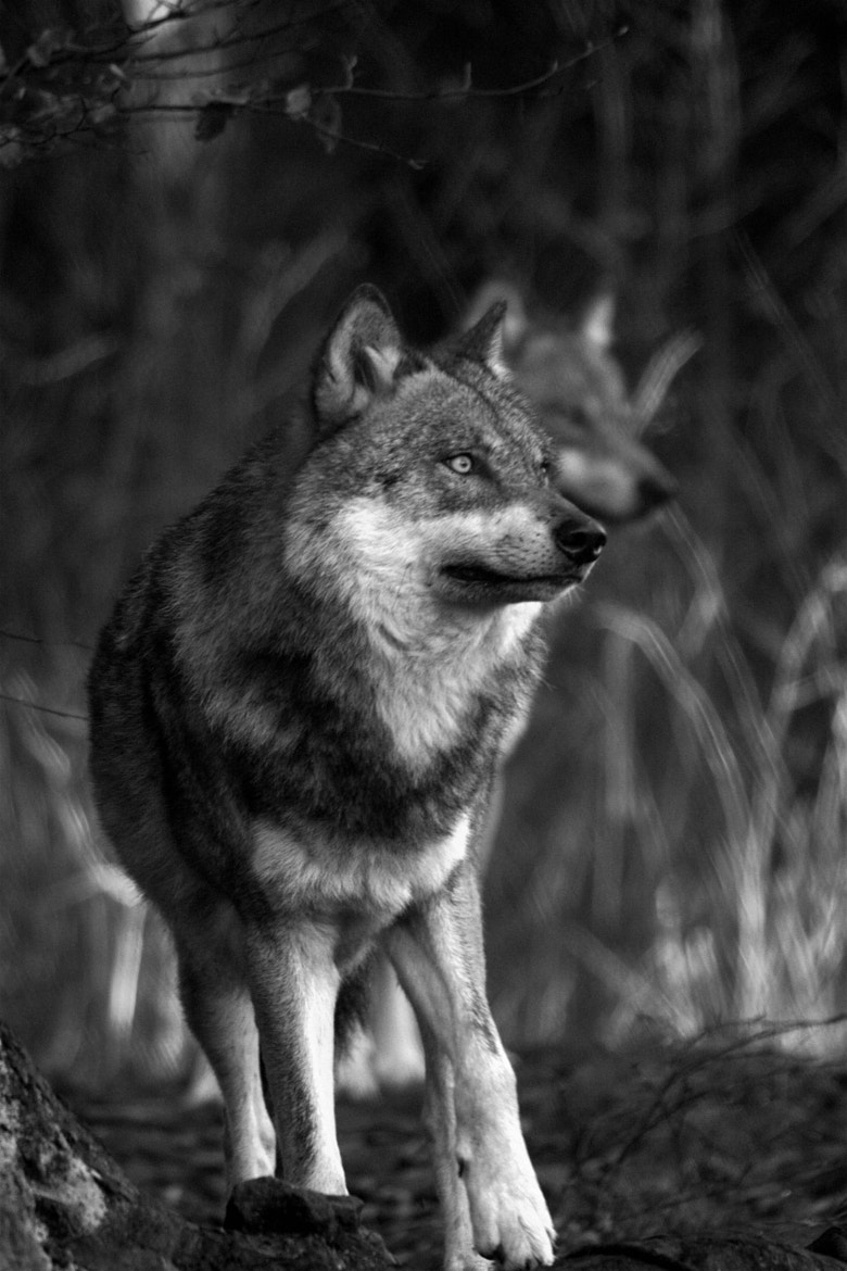 Photograph Wolf  by David Batchelor on 500px