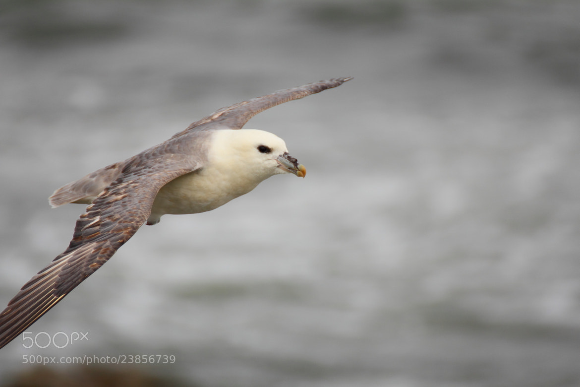 Photograph flying fulmar by Pedro Alonso on 500px