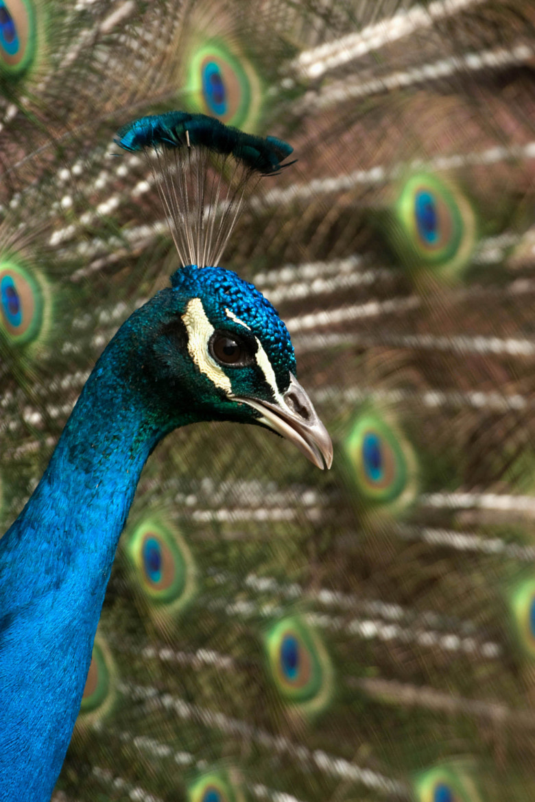 Photograph Peacock  by David Batchelor on 500px