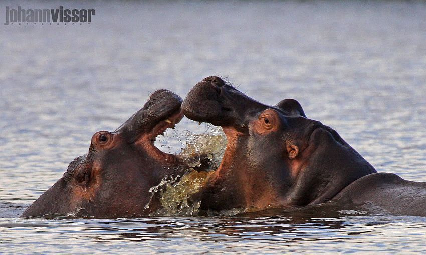 Photograph PLAYFUL HIPPOS by Johann Visser on 500px