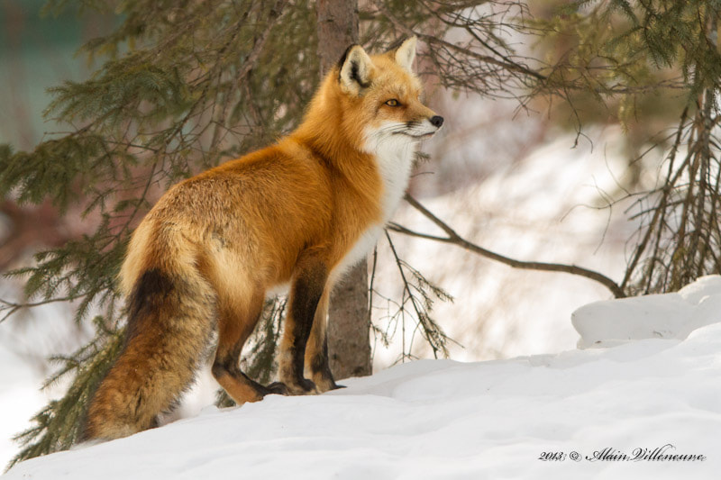 Photograph Red fox by Alain Villeneuve on 500px