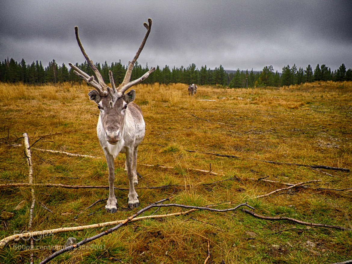 Photograph Reindeer from Lapland by Luca Marchesin on 500px