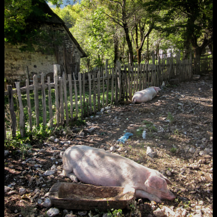 Pigs, Albania