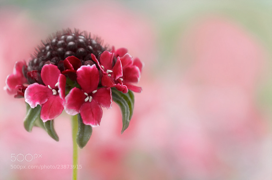 Photograph Summer Scabious by Mandy Disher on 500px