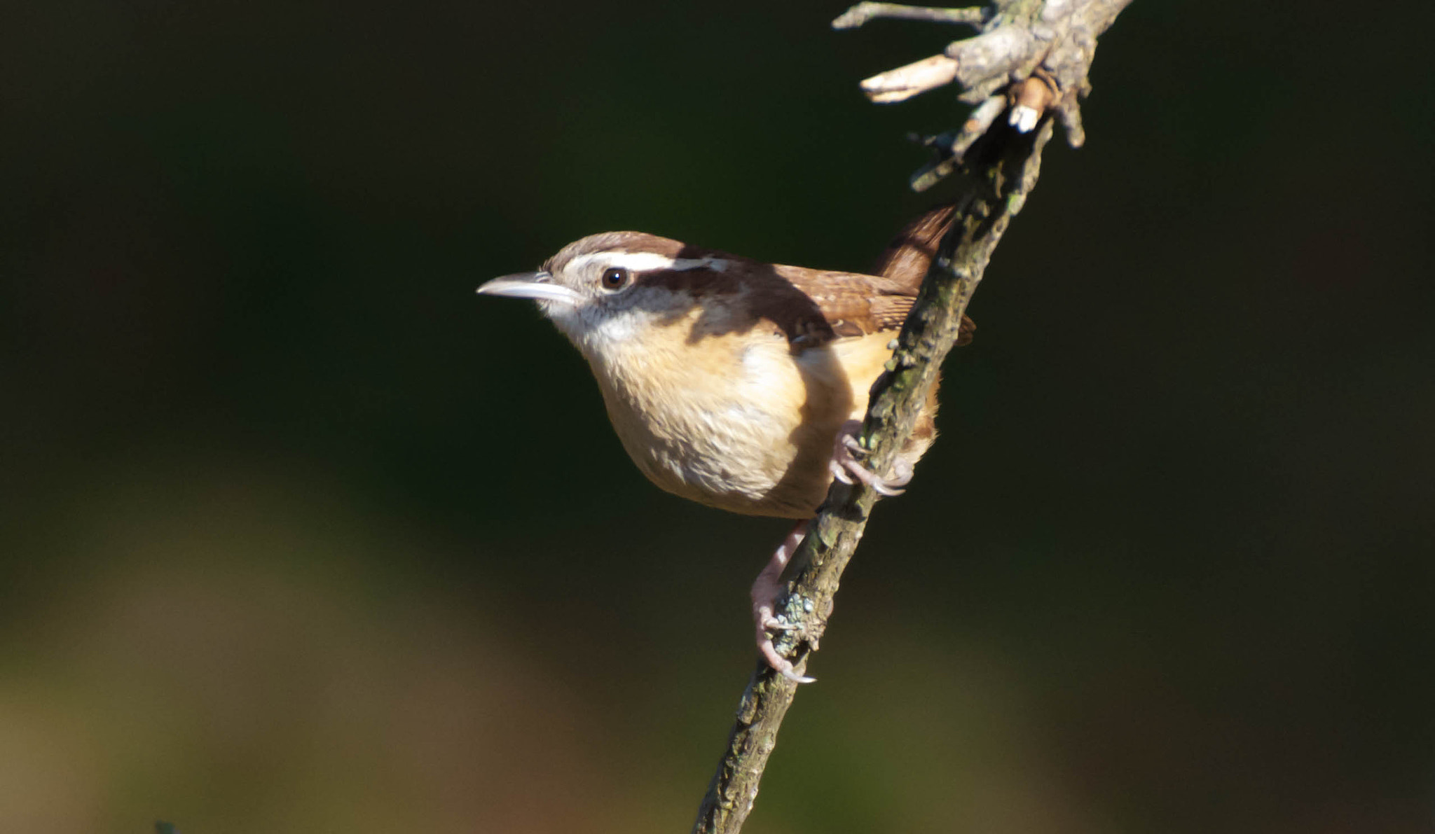 Photograph Carolina Wren by Jason Foose on 500px