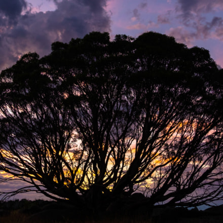 A Eucalyptus Silhouette at Sunrise