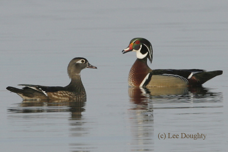 Photograph American Wood Ducks - Female and Male by Lee Doughty on 500px