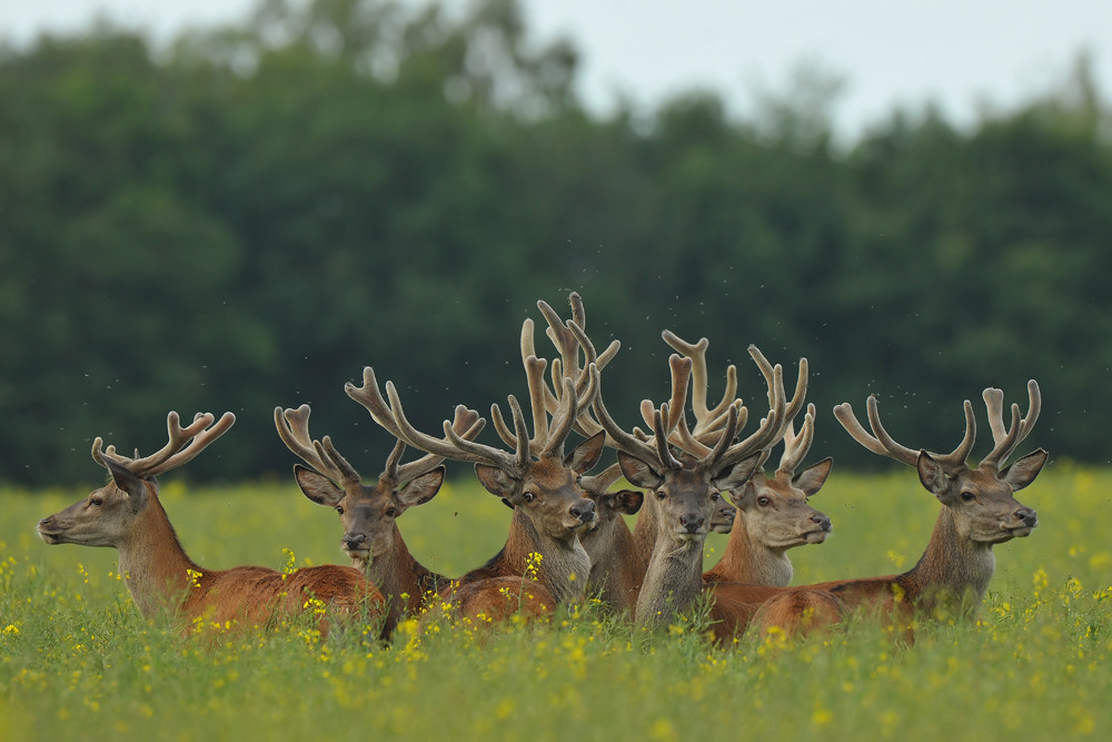 Photograph Herd of Deer by Henryk Janowski on 500px