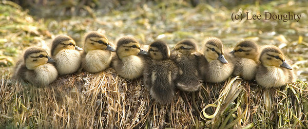 Photograph Mallard Duckings by Lee Doughty on 500px