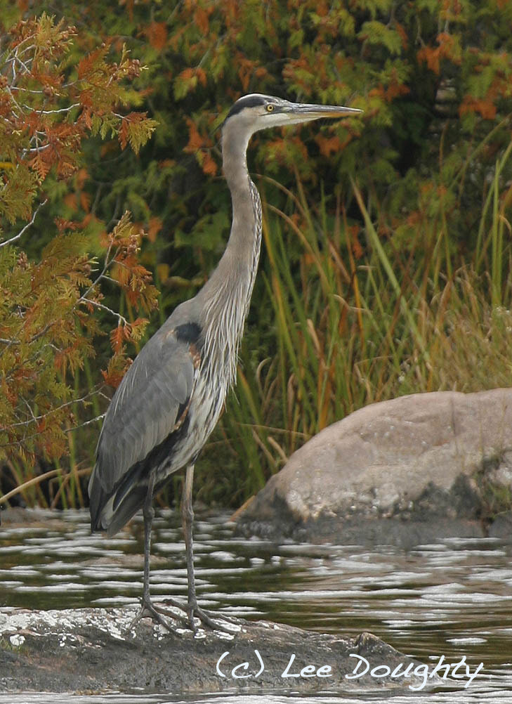 Photograph Great Blue Heron by Lee Doughty on 500px