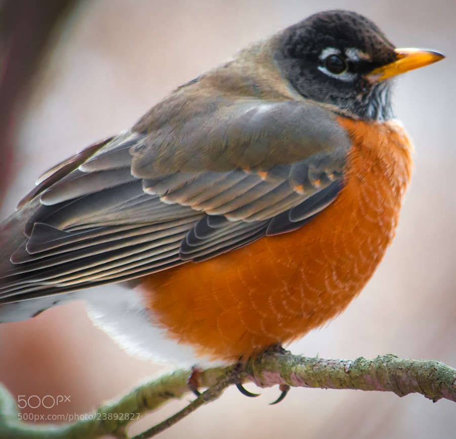 On cold days, robins tend to stay more still for pictures.