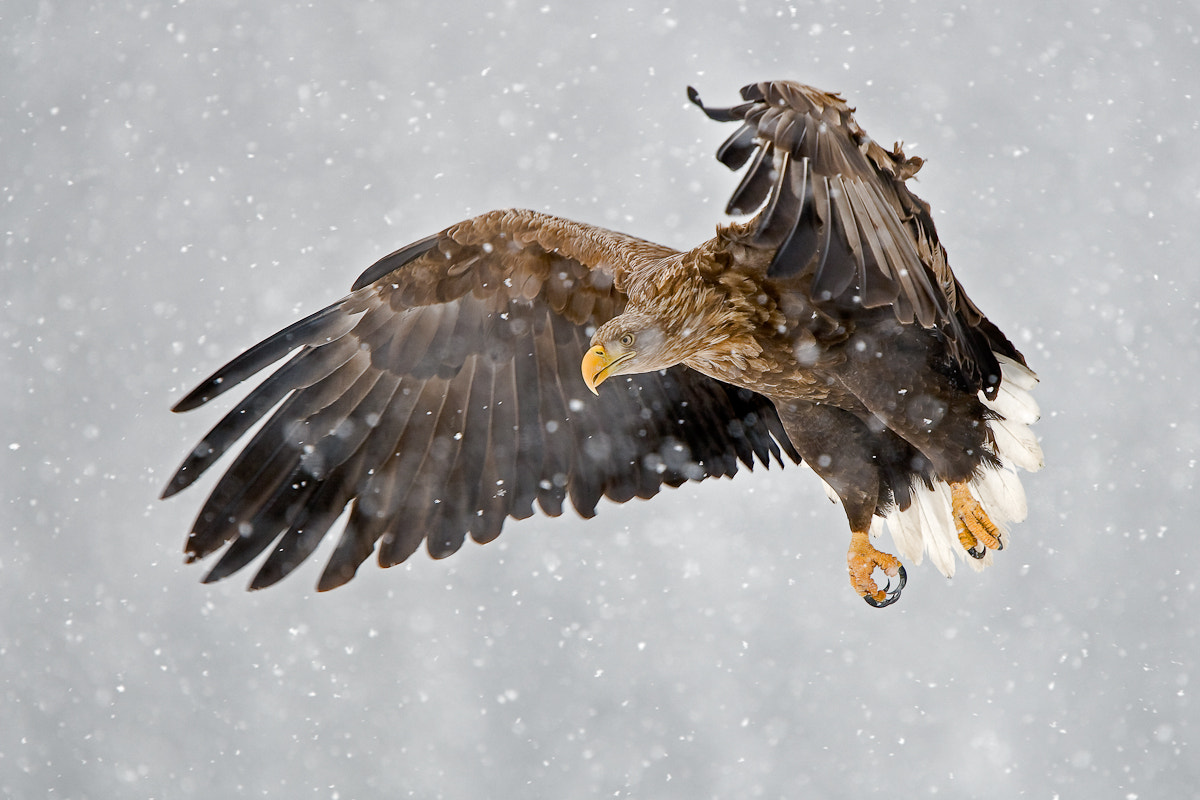 Photograph Eagle in a blizzard by René Visser on 500px