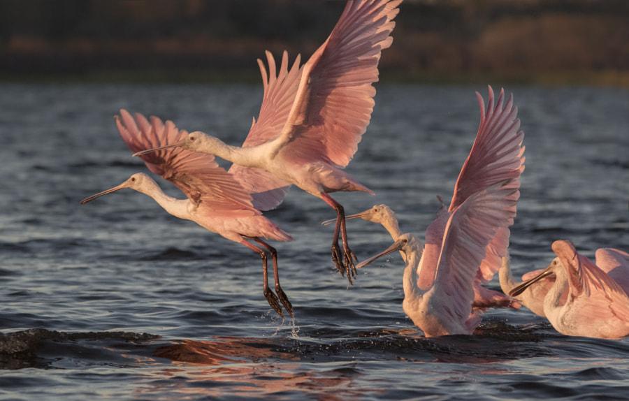 roseate spoonbills takeoff