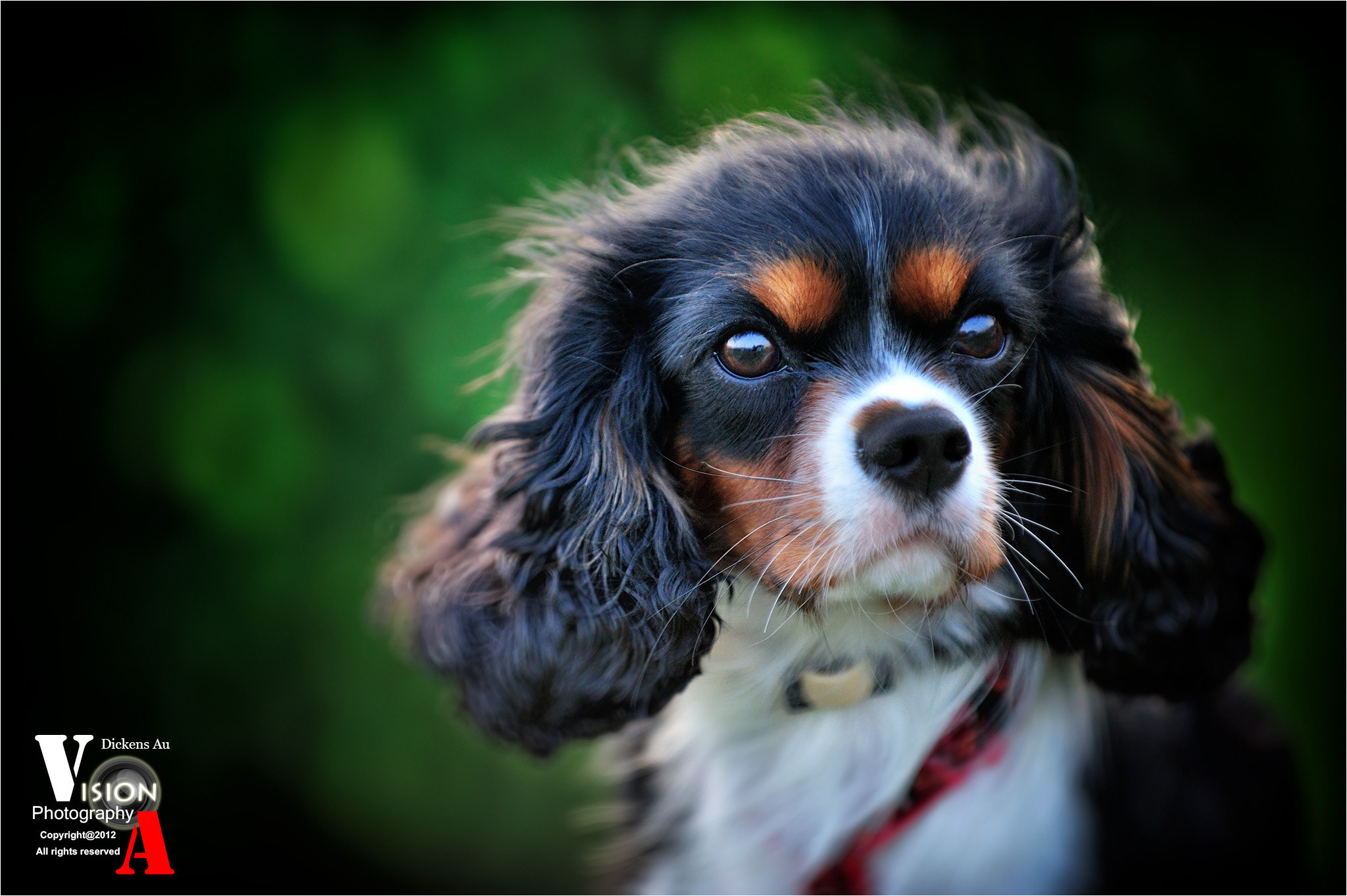 Photograph KingCharles - self confidence by Dickens Au on 500px