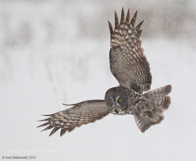 Photograph Great Gray Owl by Axel Hildebrandt on 500px