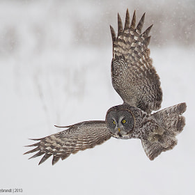 Great Gray Owl by Axel Hildebrandt (axelhildebrandt)) on 500px.com