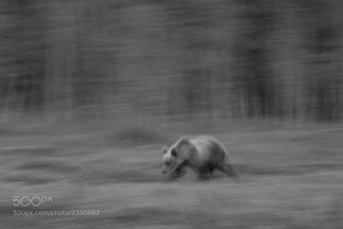 Photograph Bear Movement by Sam Rowley on 500px