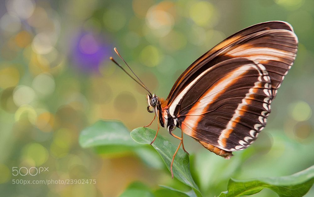 Photograph Butterfly ... by ---Jan --- on 500px