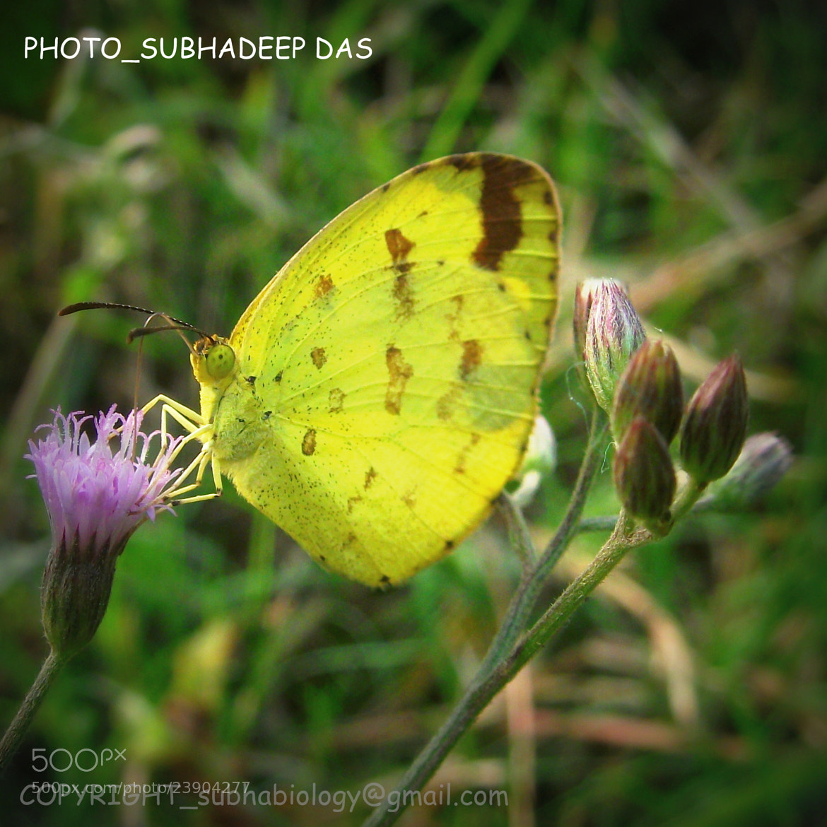 Photograph common grass yellow( Eurema hecabe ) by SUBHA   on 500px