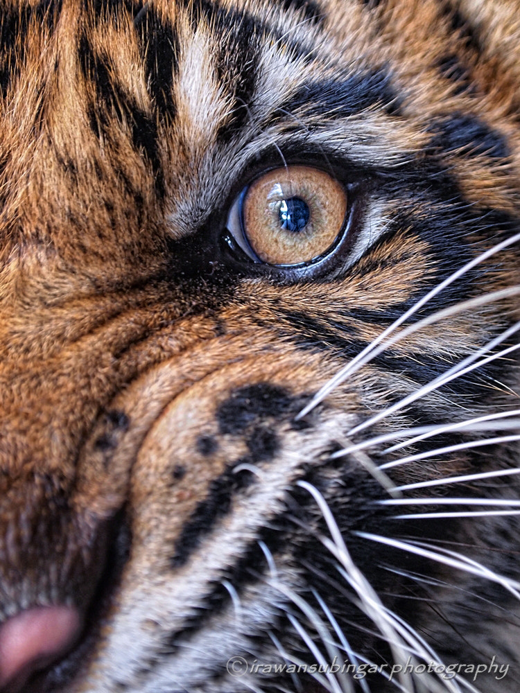 Photograph the eye of a tiger by Irawan Subingar on 500px