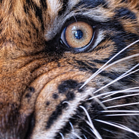 the eye of a tiger by Irawan Subingar (Irawan-Subingar)) on 500px.com