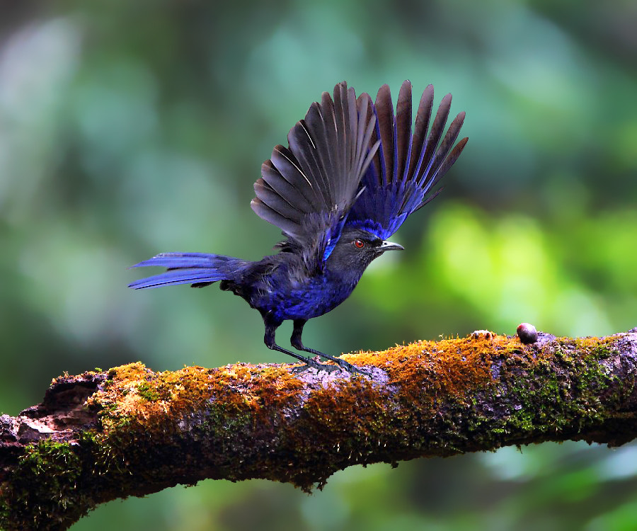 Photograph { Formosan Whistling Thrush }  by Dajan Chiou on 500px