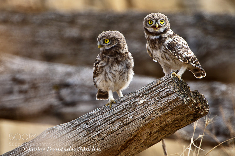 Photograph The owls brothers by Javier Fernández Sánchez on 500px