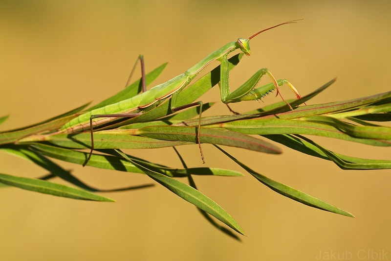 Photograph Mantis religiosa by Jakub Cíbik on 500px
