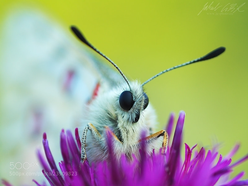 Photograph Parnassius apollo by Jakub Cíbik on 500px