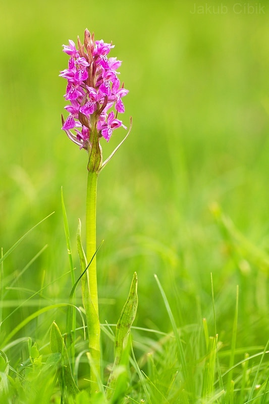 Photograph Dactylorhiza majalis by Jakub Cíbik on 500px