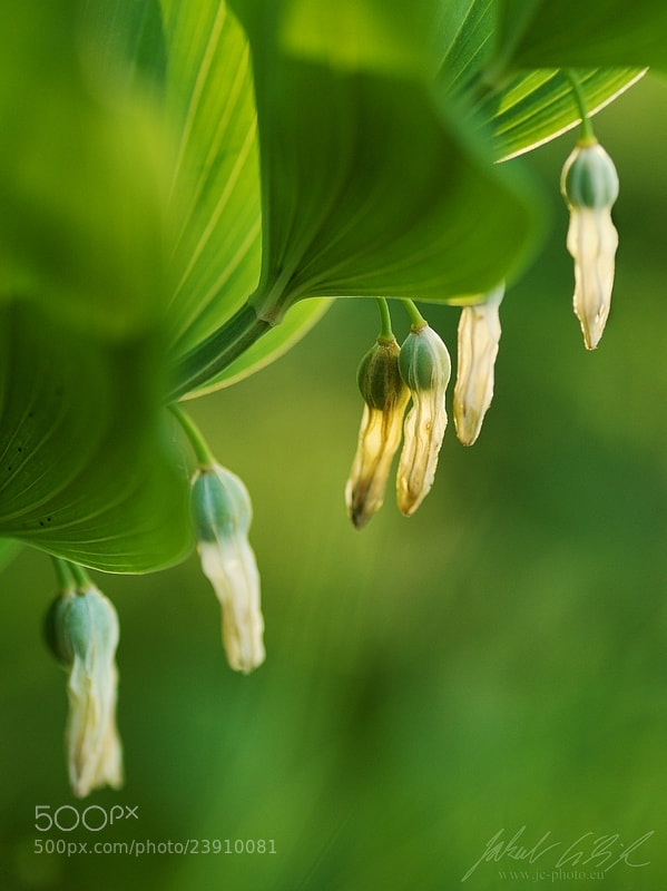 Photograph Polygonatum sp. by Jakub Cíbik on 500px
