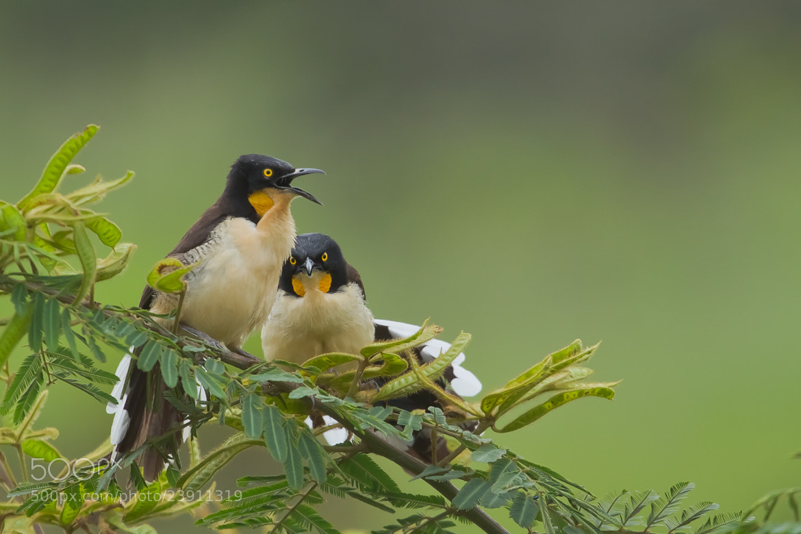 Photograph Black-capped Donacobius (Donacobius atricapilla) by Bertrando Campos on 500px