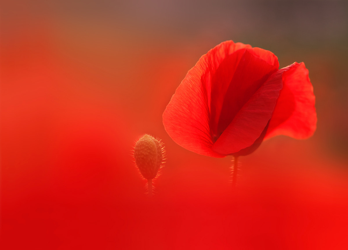 Photograph Poppy love by Marcsi Kesjarne on 500px
