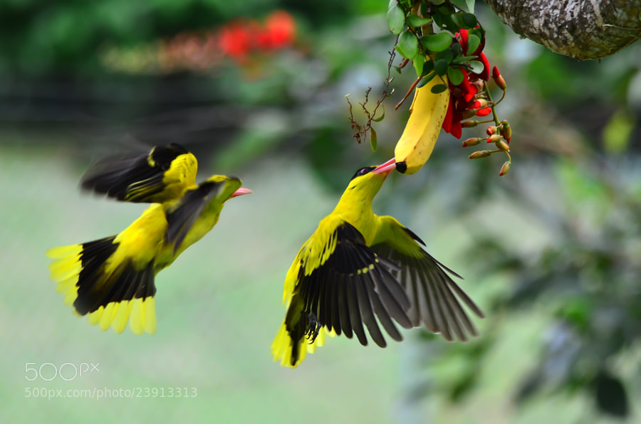 Photograph Hovering 4 by Khoo Boo Chuan on 500px