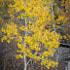 Fall Color of Aspen Trees