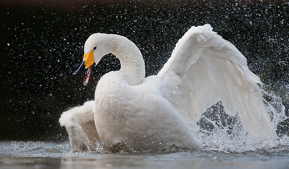 Photograph swan by Stefano Ronchi on 500px