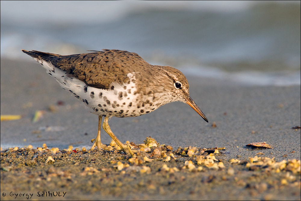 Photograph Spotted Sandpiper (Actitis macularius) by Gyorgy Szimuly on 500px