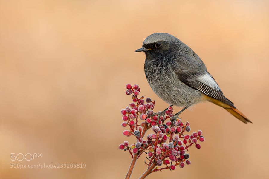 Black Redstart Dawn on Canon 100-400