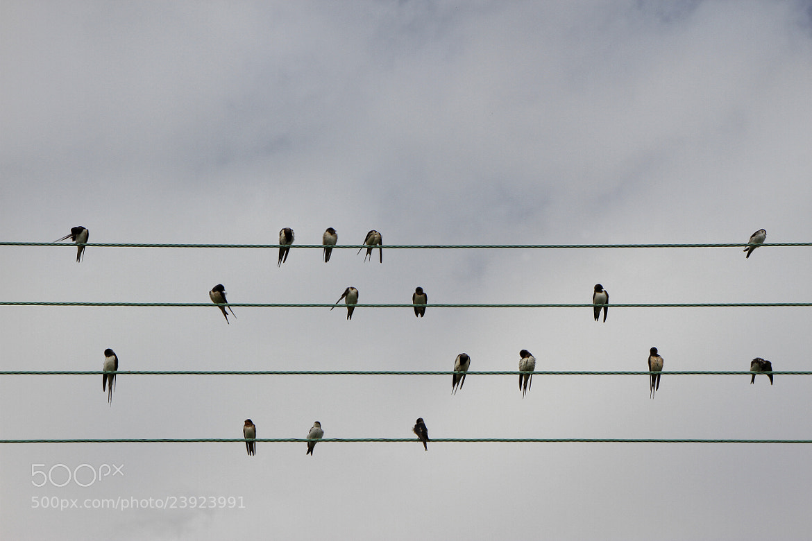 Photograph Swallow Music by Robert Armstrong on 500px