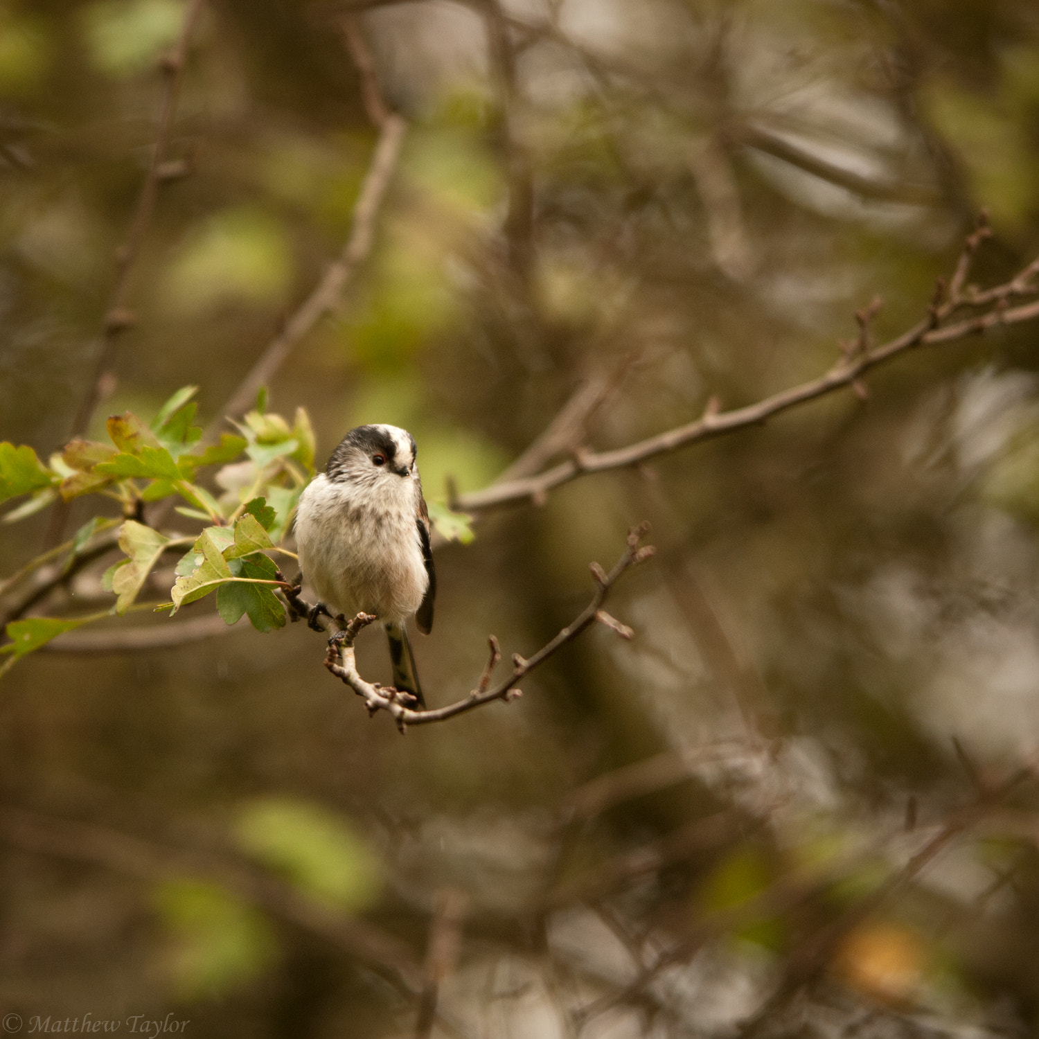 Photograph Long Tailed Tit by M Taylor on 500px