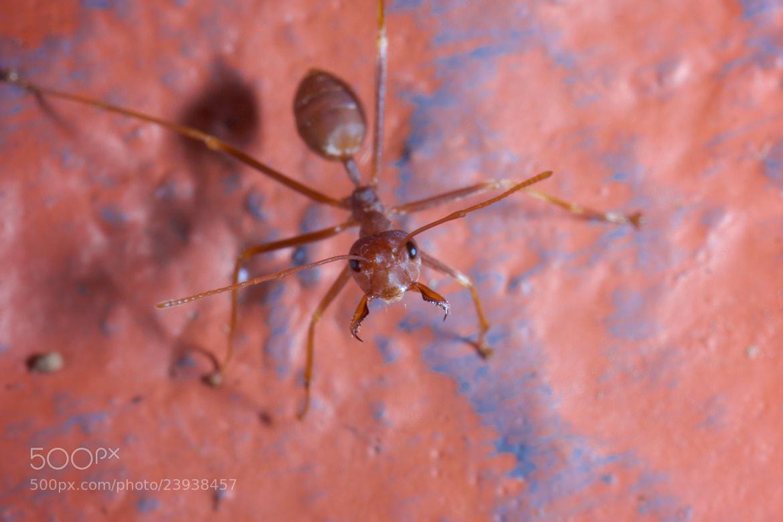 Photograph Hello I'm Mr. Ant by Mahmud Ahsan on 500px